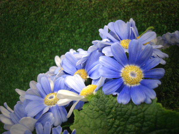 images_plants_cineraria_large_blue_3.jpg
