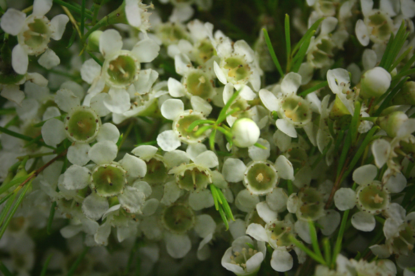 Waxflower northwest wholesale florists white waxflower mightylinksfo Choice Image